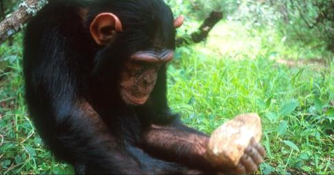 Article: Chimpanzees and Monkeys Have Entered the Stone Age