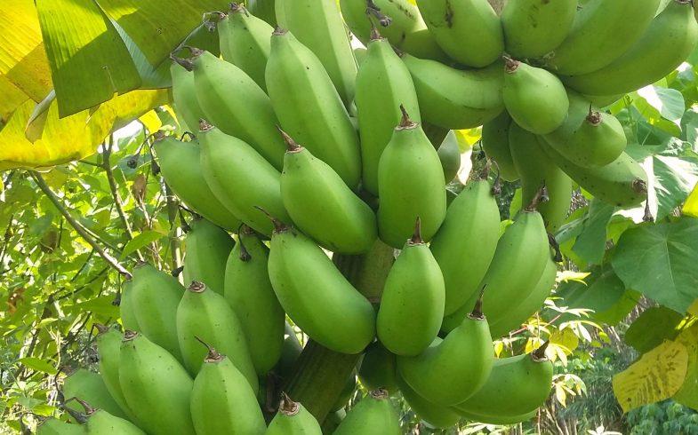 Kiow Phakchong (กล้วยเขียวปากช่อง)
